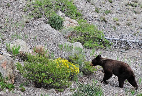 Photograph - Black Bear At Yellowstone by Ginger Wakem