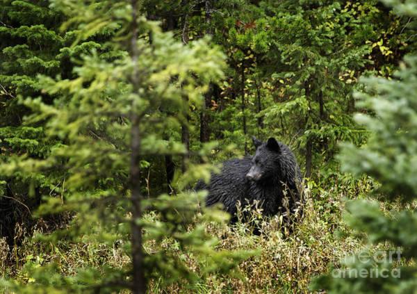 Photograph - Black Bear, Beartooth Mountains, Wyoming by Craig J Satterlee