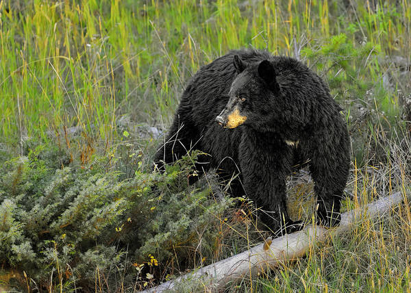 Photograph - Black Bear by Bill Dodsworth