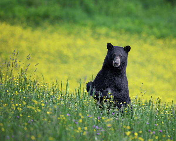 Photograph - Black Bear by Bill Wakeley