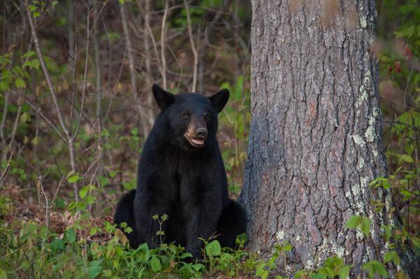 Photograph - Black Bear by Brenda Jacobs