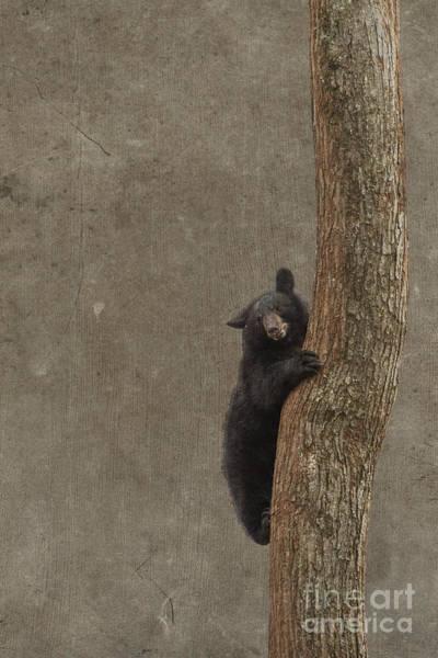 Photograph - Black Bear Climbing by Dan Friend