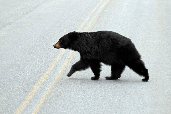 Hibernation Wall Art - Photograph - Black Bear Crossing The Road  by Pierre Leclerc Photography