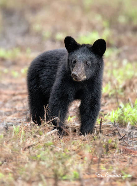 Photograph - Black Bear Cub 9572 by Dan Beauvais