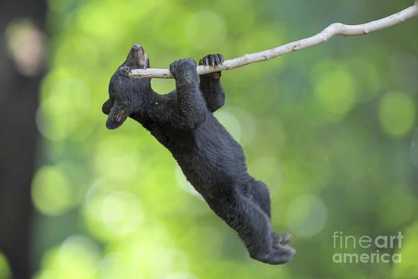 Photograph - Black Bear Cub Hanging On Limb   by Dan Friend
