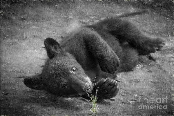 Photograph - Black Bear Cub Investigating The Grass    by Dan Friend