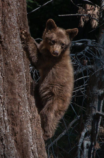 Photograph - Black Bear Cub Sequoia National Park by NaturesPix