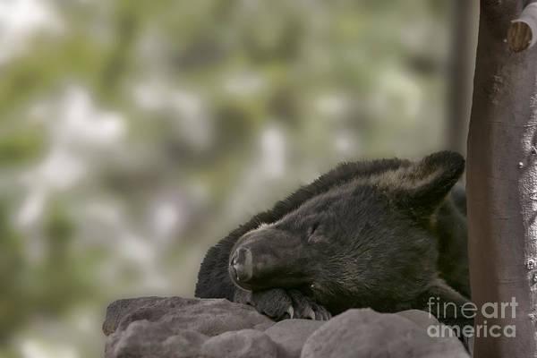 Photograph - Black Bear Cub Sleeping        by Dan Friend