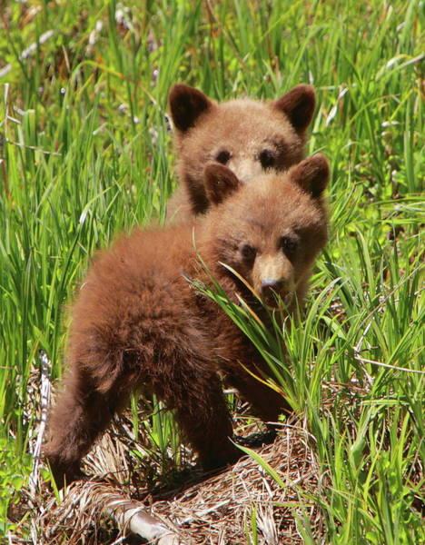 Wall Art - Photograph - Black Bear Cubs by Bruce J Robinson