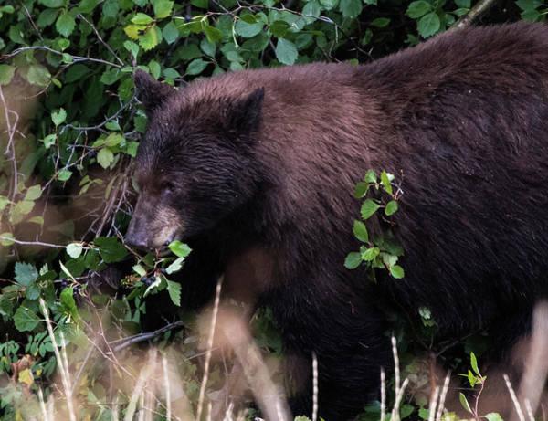 Photograph - Black Bear Eating A Snack by Jennifer Ancker