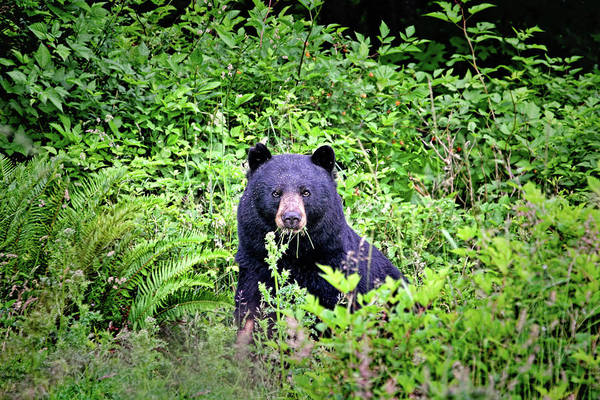 Photograph - Black Bear Eating His Veggies by Peggy Collins