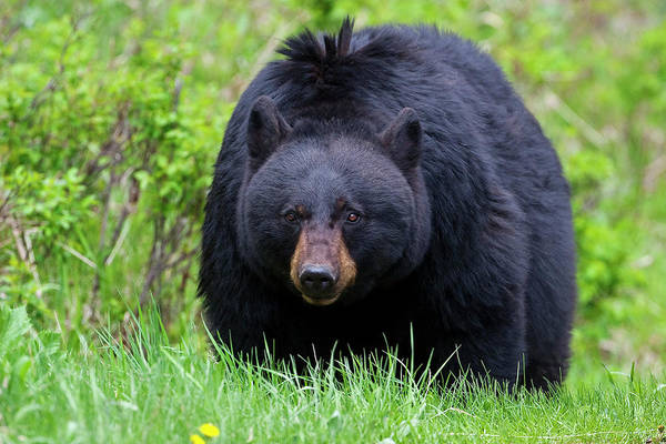 Photograph - Black Bear Face To Face by Mark Miller