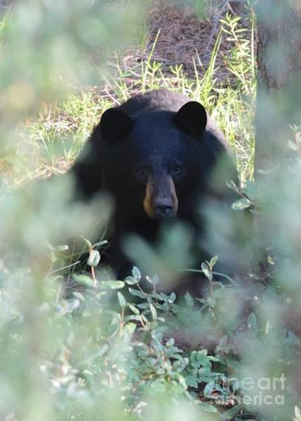 Photograph - Black Bear Hiding by Carol Groenen