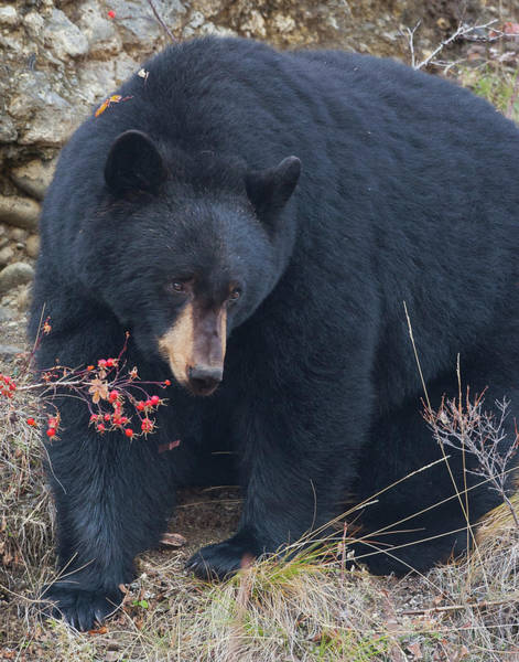 Photograph - Black Bear In Fall Eating Berries, Yellowstone National Park by Mark Miller