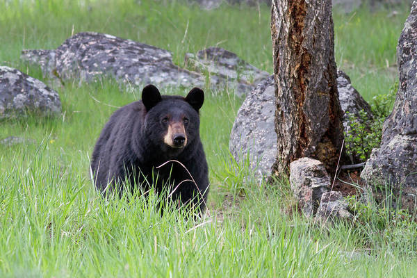 Photograph - Black Bear In Green Grassy Meadow At Attention Looking Forward by Mark Miller