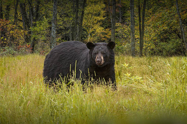 Photograph - Black Bear In The Grass by Randall Nyhof