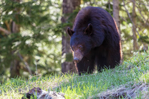 Photograph - Black Bear In The Wilderness Of British Columbia by Pierre Leclerc Photography