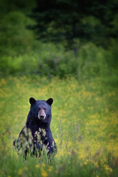 Photograph - Black Bear Lookin At Me by Darylann Leonard Photography