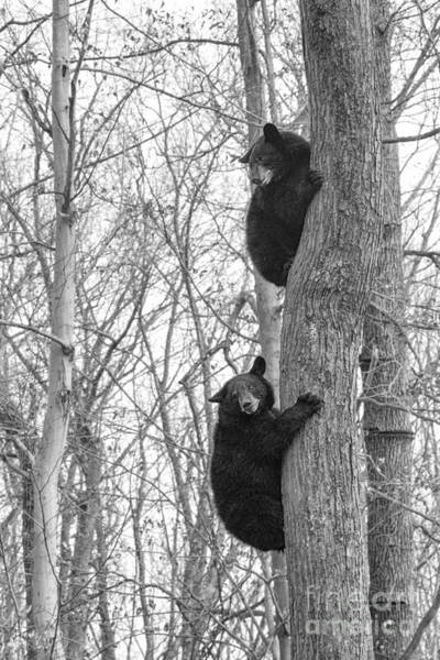 Photograph - Black Bear Looking Back While Climbing A Tree by Dan Friend