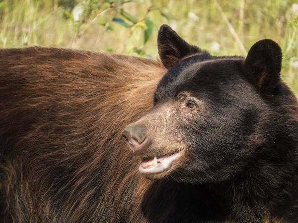 Photograph - Black Bear Profile by Patti Deters