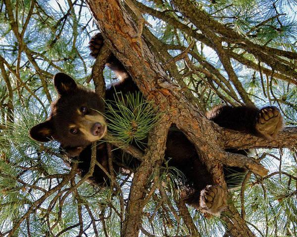 Photograph - Black Bear by Ron White