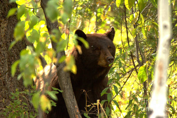 Photograph - Black Bear Sow In The Tree by Adam Jewell