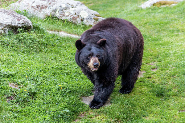 Photograph - Black Bear by Susie Weaver