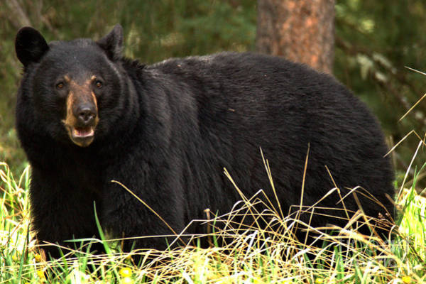 Photograph - Black Bear Toothy Grin by Adam Jewell