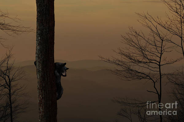 Photograph - Black Bear Up Tree In The Morning - Composite by Dan Friend