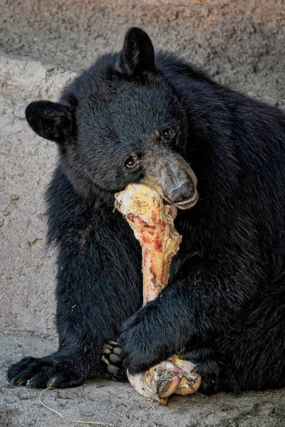 Photograph - Black Bear V1827 by Mark Myhaver