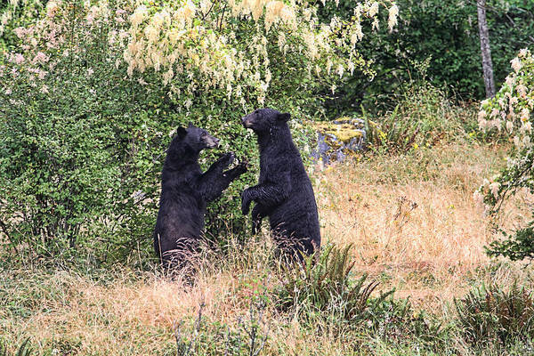 Photograph - Black Bears Playing by Peggy Collins