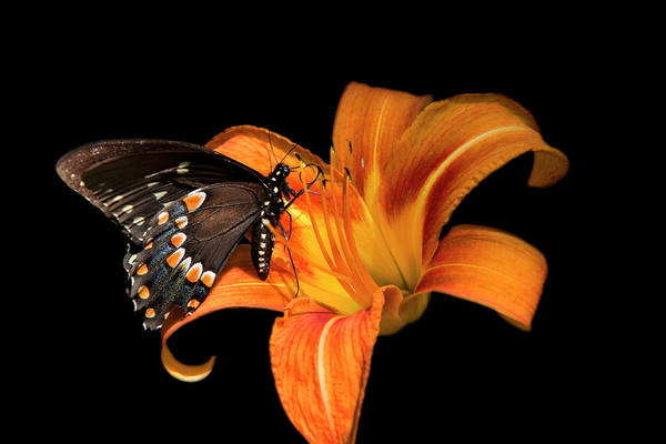 Photograph - Black Beauty Butterfly by Christina Rollo