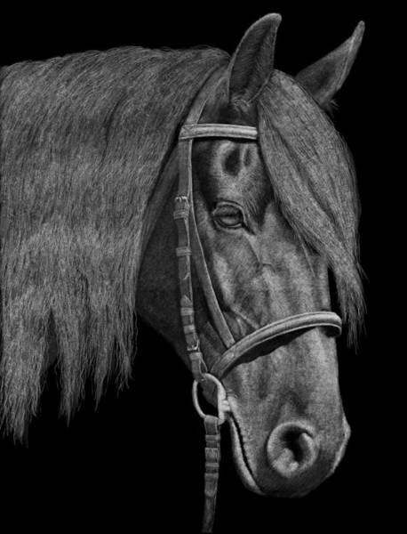 Friesian Drawing - Black Beauty by Sue Kroll