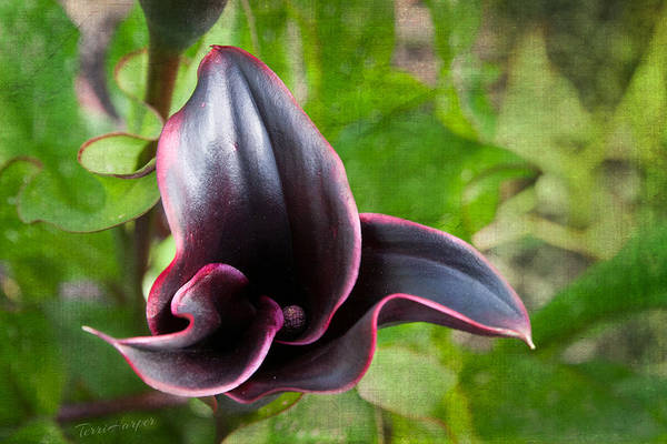 Photograph - Black Beauty by Terri Harper