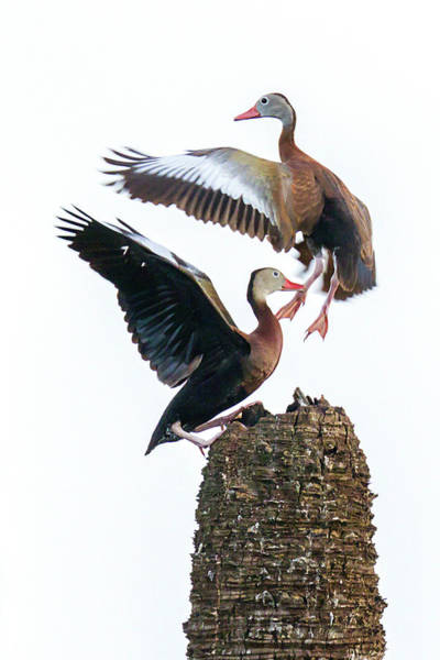 Photograph - Black-bellied Whistling Duck Dance by Dawn Currie