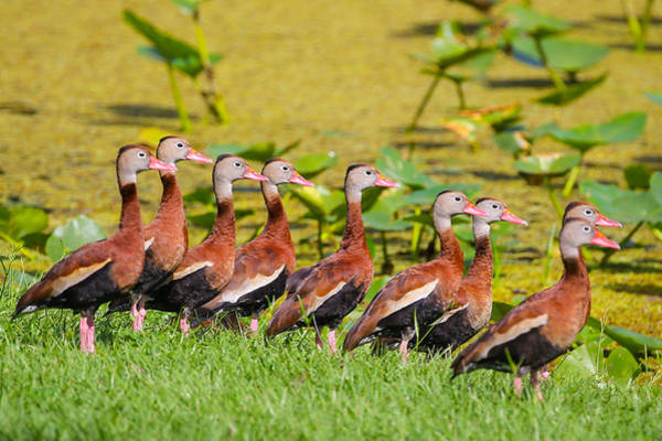 Photograph - Black Bellied Whistling Ducks by Dart and Suze Humeston
