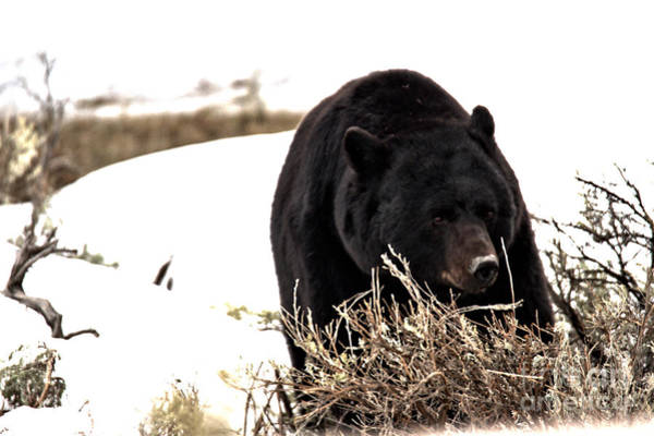 Photograph - Black Bear Hungry After Hibernation by Adam Jewell