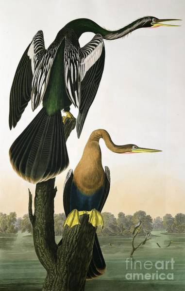 Wall Art - Drawing - Black Billed Darter by John James Audubon