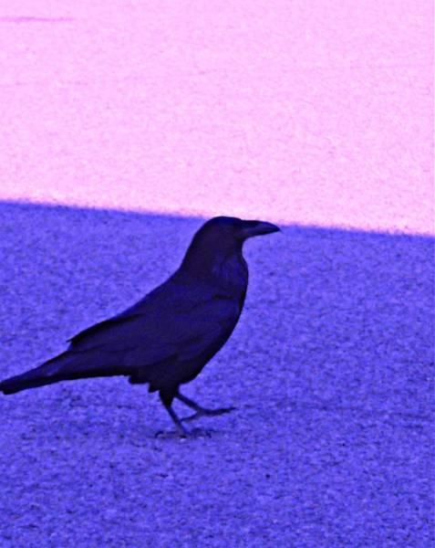 Craw Wall Art - Photograph - Black Bird. by Avi Zamir