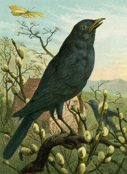 Blackbirds Painting - Black Bird by English School