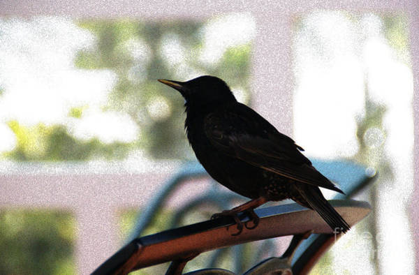 Photograph - Black Bird by Linda Shafer