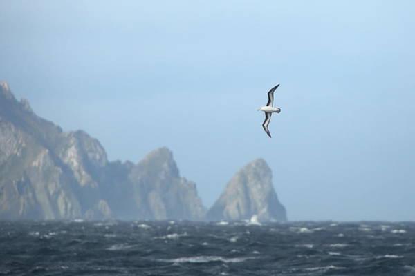 Wall Art - Photograph - Black-browed Albatross Soaring Above Cliffs by Bruce J Robinson