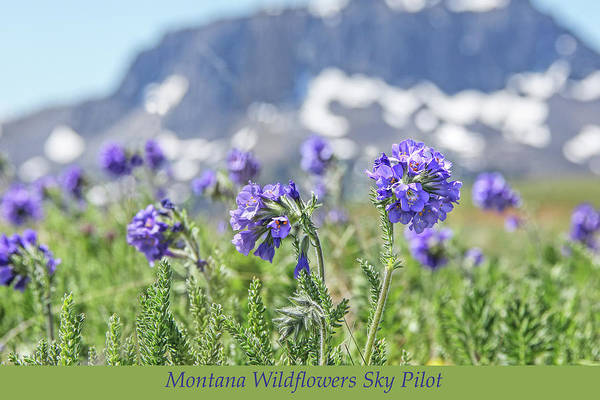 Wall Art - Photograph - Black Butte And Sky Pilot Wildflowers by Jennie Marie Schell