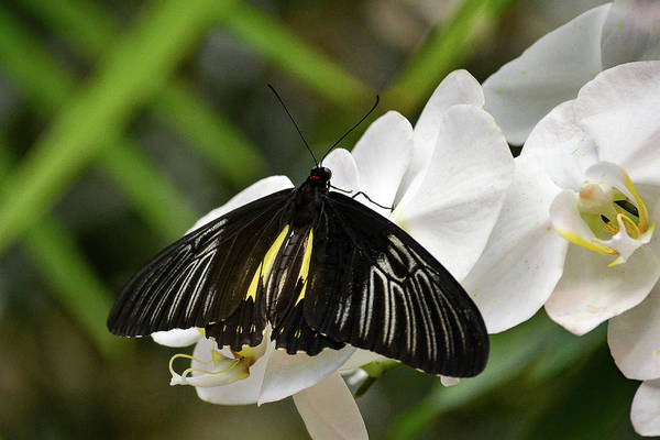 Photograph - Black Butterfly by Brad Thornton
