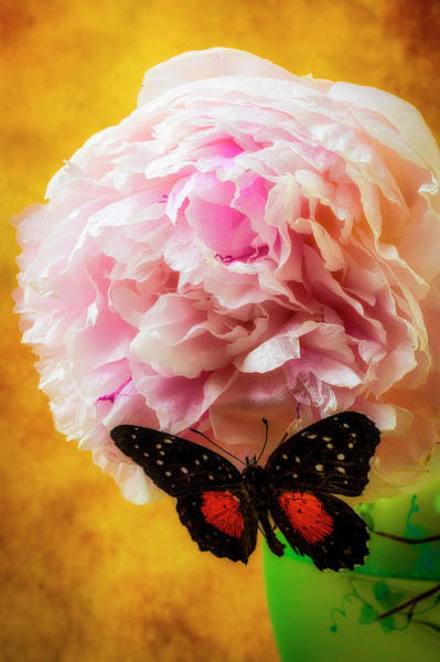 Photograph - Black Butterfly On Peony by Garry Gay