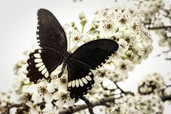 Photograph - Black Butterfly On Plum Blossoms by Garry Gay
