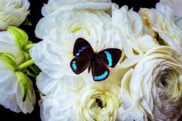 Photograph - Black Butterfly On White Ranunculus by Garry Gay