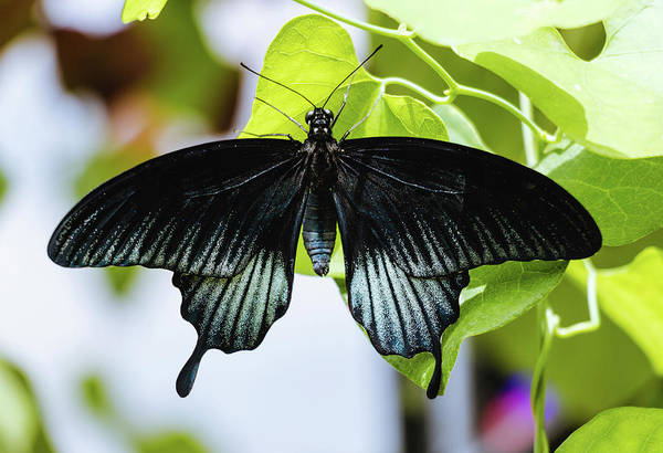 Photograph - Black Butterfly - Papilio Ascalaphus by Cristina Stefan