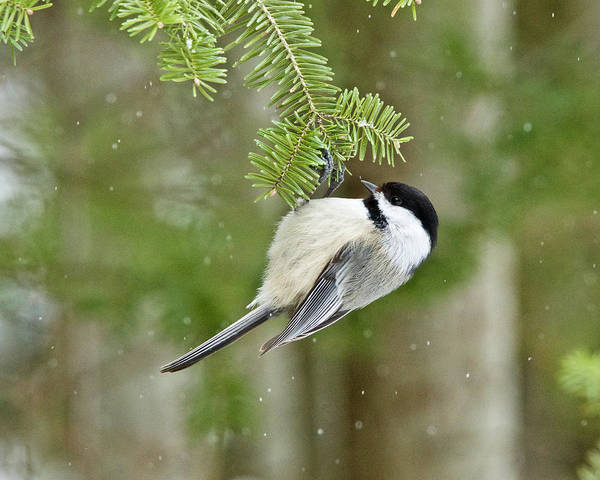 Wall Art - Photograph - Black-capped Chickadee 0667 by Michael Peychich