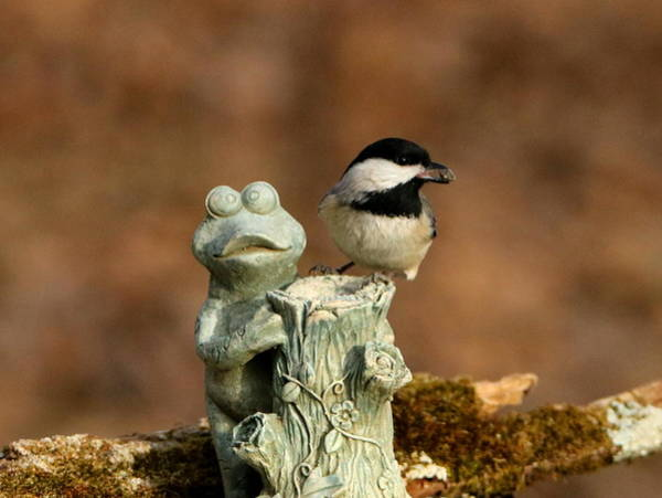 Photograph - Black-capped Chickadee And Frog by Sheila Brown